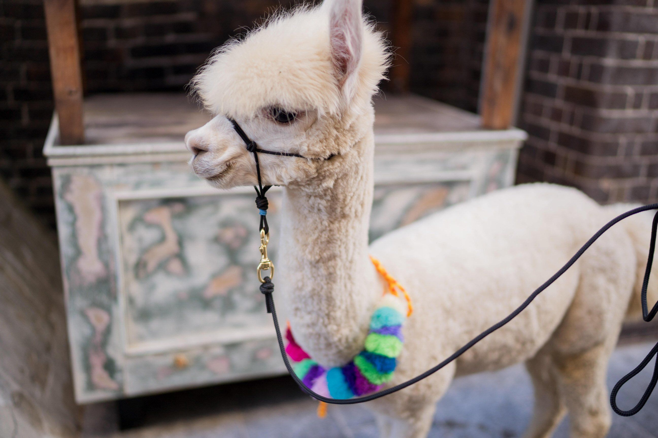 alpaca weddings